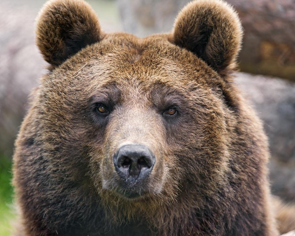 bears park belica