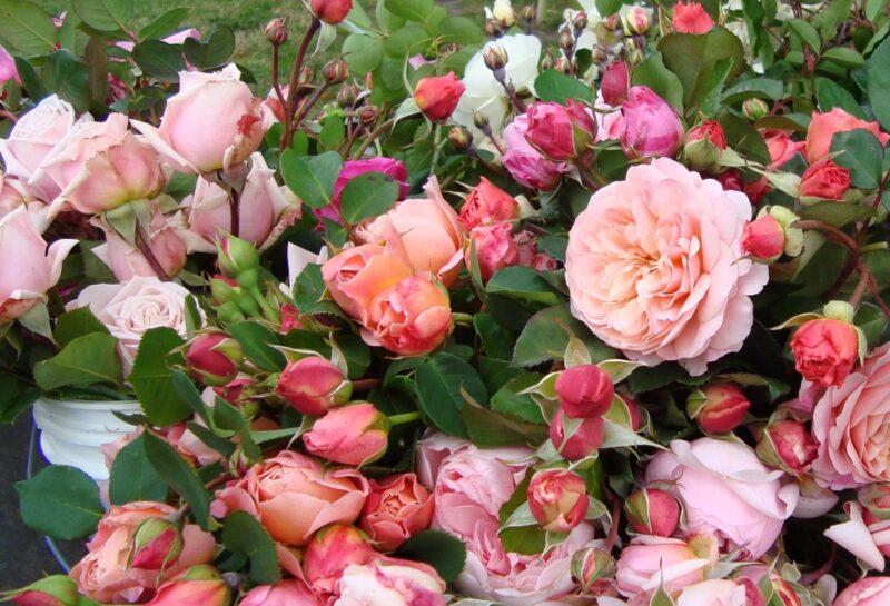 rose festival kazanlak