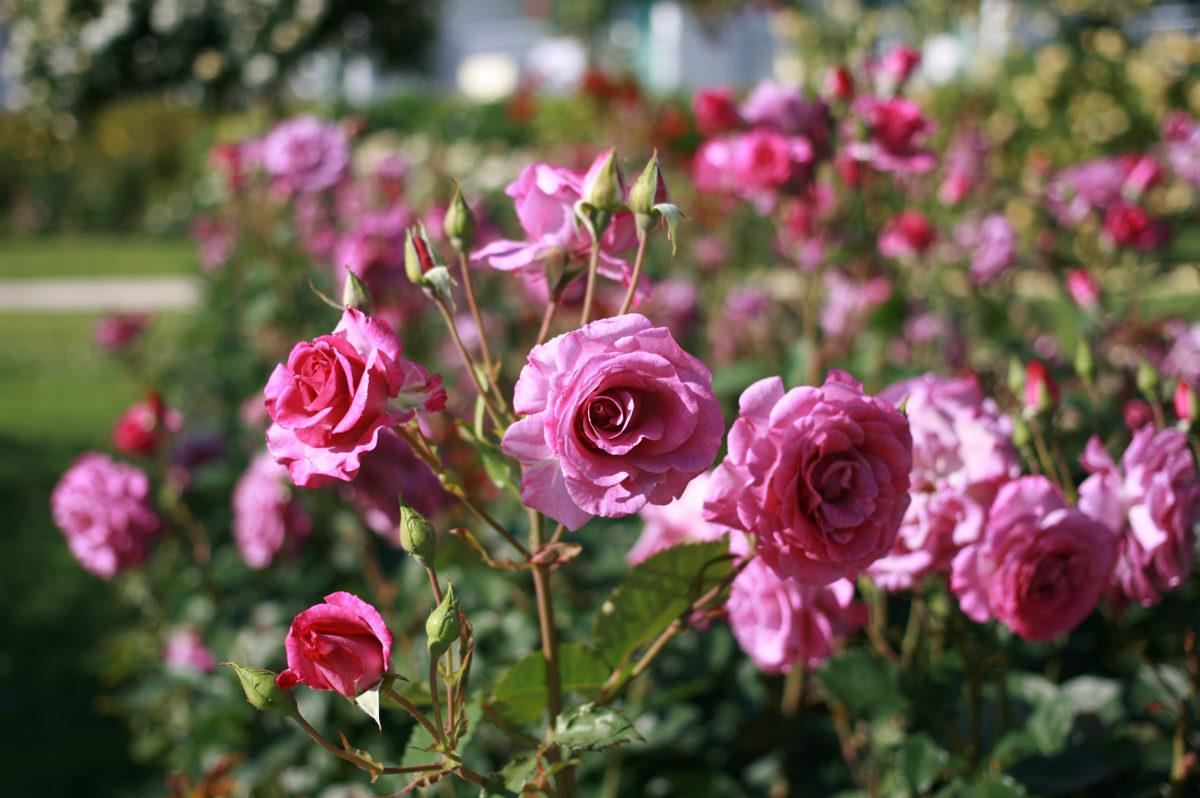 roses albena