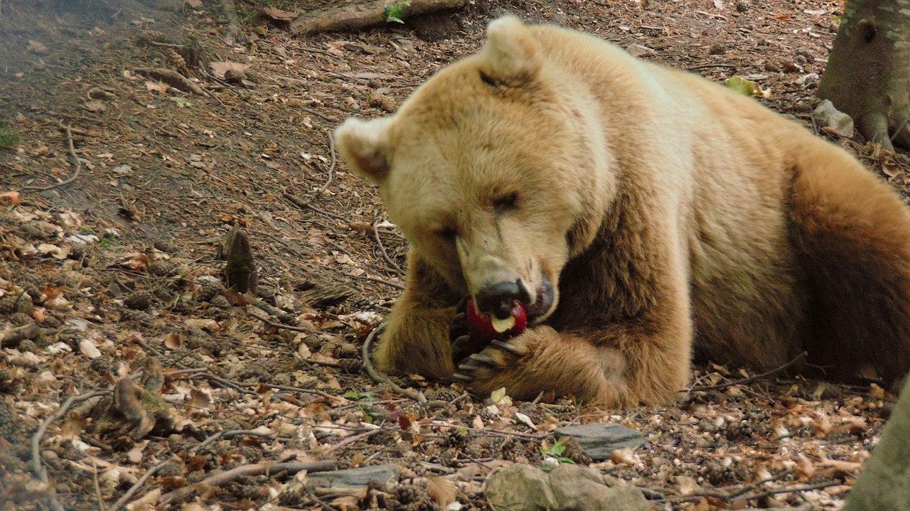 bear belitsa